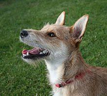 Dog Scientific Classification Chart Dog Wikipedia