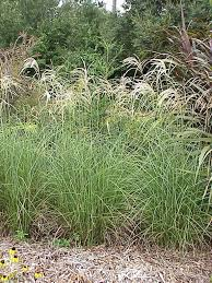 Tall Decorative Grass An Introduction To Ornamental Grasses And Grasslikes For Southern