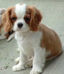cavaliers dogs. Delighful Cavaliers Covington Is A Long Time Committed U0026 Vested Breeder Of The Cavalier We Are  An AKC Breeder Merit Members With Both National Cavalier Clubs And Many  In Cavaliers Dogs S