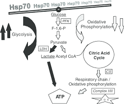 Robergs Chart Simplified Flow Chart Of Hsp70 Impact On Atp Generation