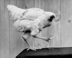 chicken without a head gif. Perfect Head Mike The Headless Chicken  To Chicken Without A Head Gif G