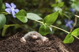 garden moles. Lethal Traps Are The Most Common Way To Eliminate Moles, Voles And Gophers In Lawn Garden. Garden Moles Y