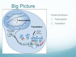 Venn Diagram Of Transcription And Translation Nucleotides Sugar Phosphate Base Ppt Video Online Download