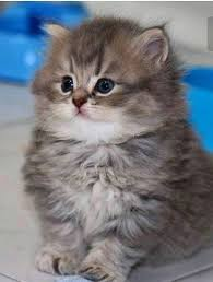 cute fluffy kittens. Plain Kittens So Fluffy What Will It Look Like As An Adult To Cute Fluffy Kittens