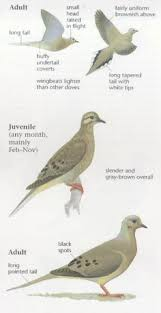 Mourning Dove Age Chart Peter Roehrich Peterroehrich On Pinterest
