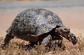 Leopard Tortoise Size Chart Leopard Tortoise Sanbi