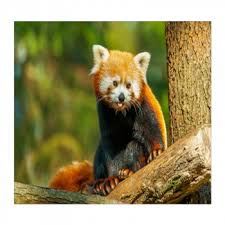 red panda wall murals on red panda wall art with red panda wall art red panda wall murals custom sizes