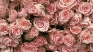 Pale Pink Rose Desktop Wallpapers on ...
