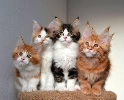 maine kittens in