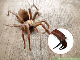Arizona Spiders Identification Chart How To Identify A Wolf Spider 12 Steps With Pictures