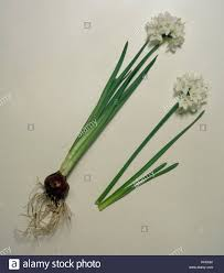 White Paper Flower Bulbs Narcissus Papyraceus Paper White Narcissus Flowers With