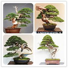 office bonsai tree. Plain Bonsai 50 PcsBag Juniper Bonsai Tree Potted Office  Purify The Air To