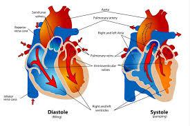 Heart Systolic And Diastolic Chart Phases Of The Cardiac Cycle When The Heart Beats