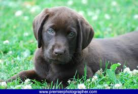 chocolate lab puppies wallpaper. Simple Chocolate Chocolate Lab Picture With Puppies Wallpaper R