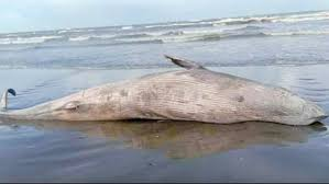 The beach will be connected to the first dead whale