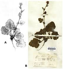 A. Illustration of Geum molle in Visiani & Pančić (1862). B. Lectotype ...