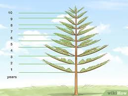 Tree Growth Rates Chart Uk 2 Easy Ways To Determine The Age Of A Tree Wikihow