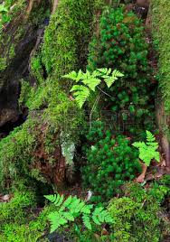 Image result for juvenile bracken fern