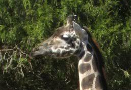 <b>Giraffe</b>: Learn all about the tallest <b>animal</b> on earth.