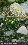 star saxifrage