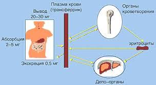 Железодефицитная анемия беременных Статьи по специальности  Кинетика железа в организме