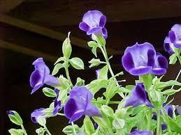 torenia fournieri wishbone flower