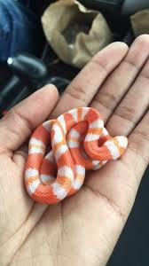 milk snake size simple albino hypo honduran milk snake just a teeny little baby