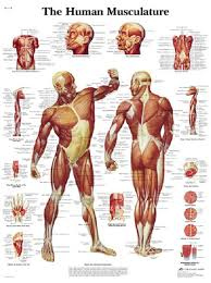 Diagram Of The Human Muscle System – slushtokyo.info