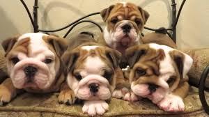 cute english bulldog puppy.  Puppy For Cute English Bulldog Puppy YouTube