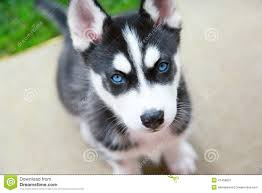 grey husky puppies with blue eyes. Simple Grey For Grey Husky Puppies With Blue Eyes K