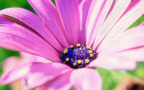 flower wall paper download pink flower wallpaper flowers nature wallpapers in jpg format for