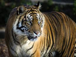 images of tigers. Brilliant Tigers Tiger To Images Of Tigers World Wildlife Fund