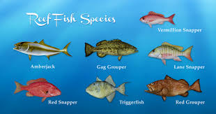 gulf of mexico reef fish species