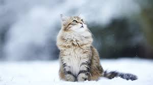 cat-winter-hd-wallpaper-taborat-winter ...