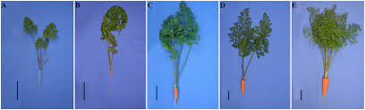 carrot plant stages. Delighful Stages Growth Status Of Carrots From Five Different Developmental Stages A Stage  1 25dayold B 2 40dayold C 3 60dayold D 4  Throughout Carrot Plant Stages G