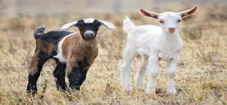 Goat Birthing Chart Goat Reproduction Puberty And Sexual Maturity Goats