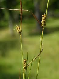 SEINet Portal Network - Carex tomentosa