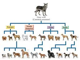 Canine Evolution Chart Evolution Of Dogs Sled Dog Society Of Wales