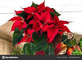 Roten Weihnachtsstern Weihnachten Blume Für Dekoration Oder