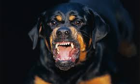 rottweiler dog attacks. disfigured child rushed to hospital following rottweiler attack | portugal resident dog attacks r