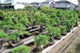 bonsai gardens. matsuda seishoen bonsai garden gardens