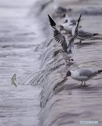 Qinghai Lake Greets Migration Peak Of Naked Carp Xinhua