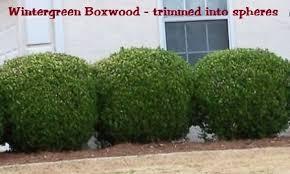 Boxwood Wintergreen Size 1