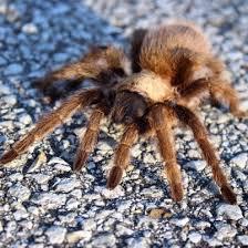 Common Spiders Of Missouri Identification Benefits And