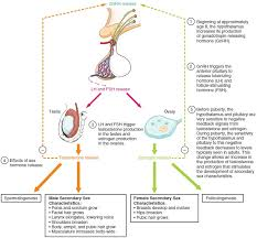 Stages Of Puberty In Males Chart Development Of The Male And Female Reproductive Systems