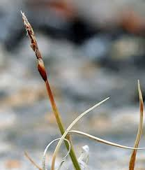 Carex rupestris - The Flora of Svalbard