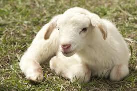 Agnello : il piccolo cucciolo della pecora