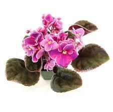 optimara premium 4 african violet orted colors single walmart
