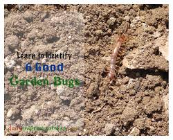 a centipede is one of the 6 good garden bugs i learned to recognize more confidently