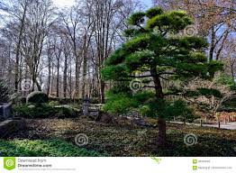 Japanese Landscape Architecture Cypress Tree In Japanese Garden Landscape Stock Photo Image